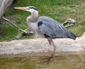 great-blue-heron-standing-in-water